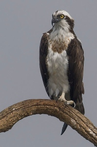 osprey courtesy of Wikimedia Commons - our mascot was the seahawk, another term for osprey