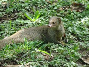 Mongoose, imported to kill rats in pineapple fields. Experiment failed and it is now considered an invasive species.
