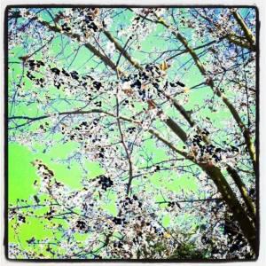Instagram cherry tree