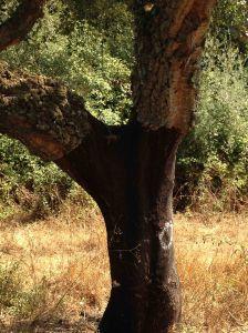 the humble cork tree