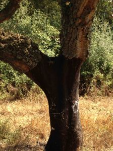 the humble cork tree